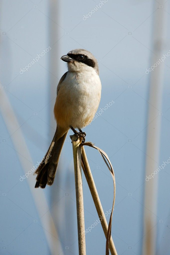 Great Grey Shrike.