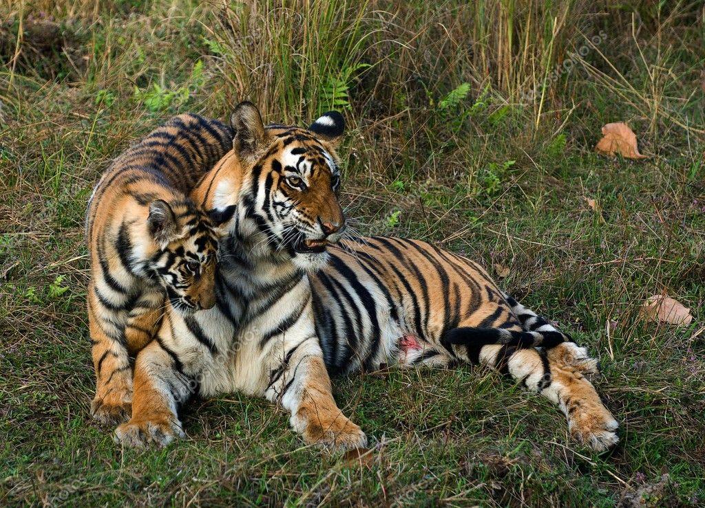 Tigress and cub.