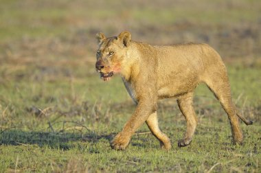 Lioness after hunting.