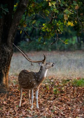 Male Spotted Deer (Axis axis).