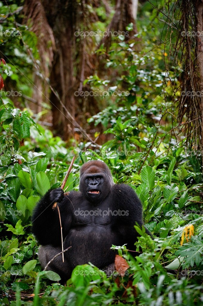 Portrait of male Western Lowland Gorilla.