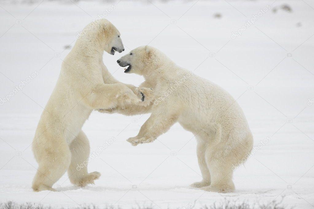 Fight of polar bears. 11