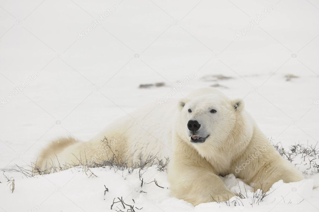Rest of polar bear.