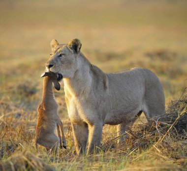 A lioness with new-born antelope prey.