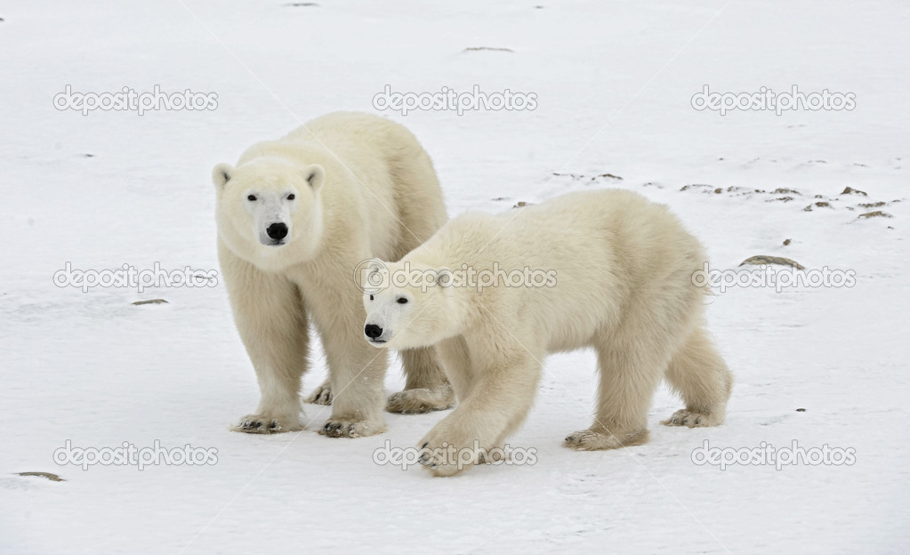 Two polar bears.