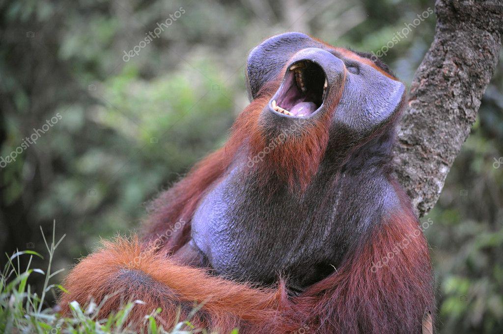 Yawning Orangutan.