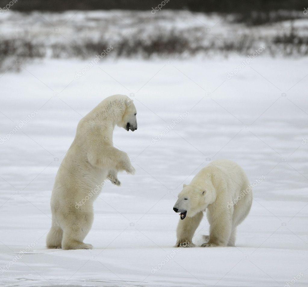 Fight of Polar bears.