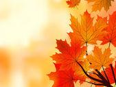 Javor červený podzim listy, mělké zaměření