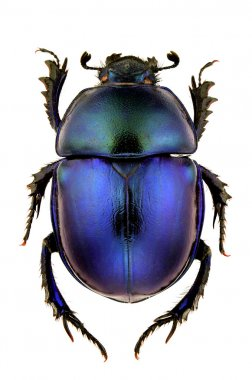 Trypocopris vernalis