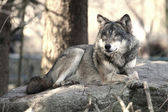 Fotografia lupo selvatico
