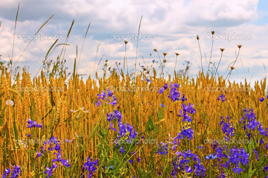 Wildflowers on the edge of wheat field