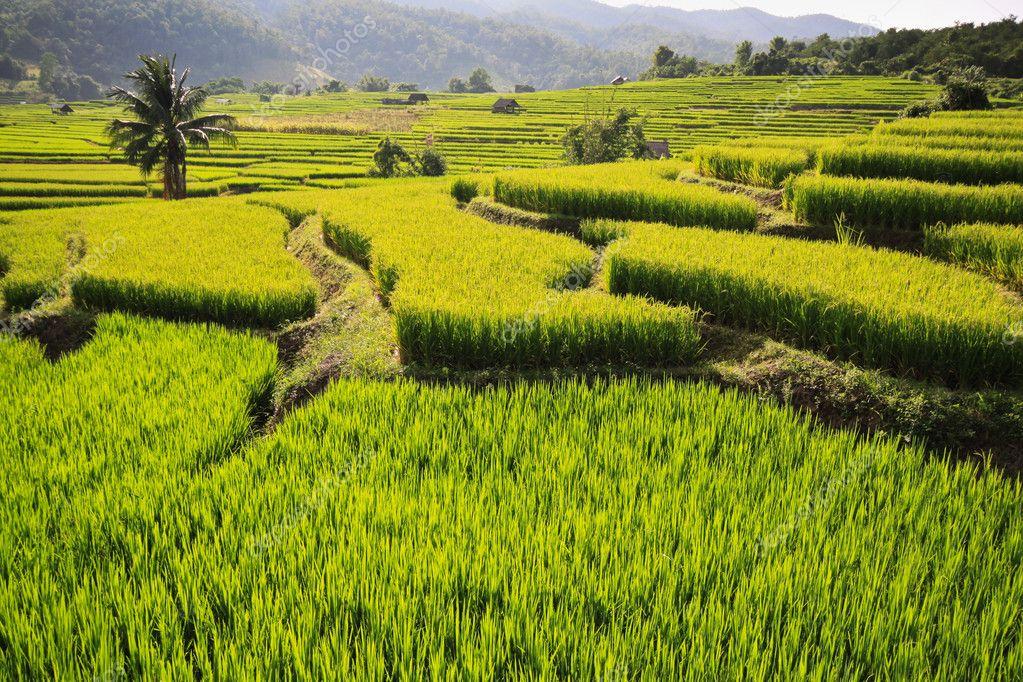 Rice field6