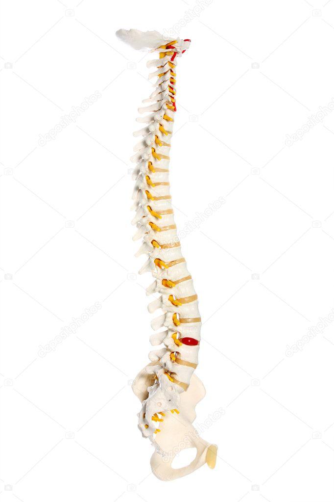 menschliche Hüftknochen — Stockfoto © macniak #4280313