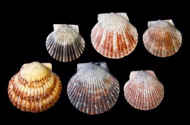 Arrangement of Sea shells