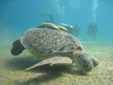 Large green turtle with a remora fish and divers in the Red Sea