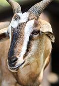 zblízka kozí