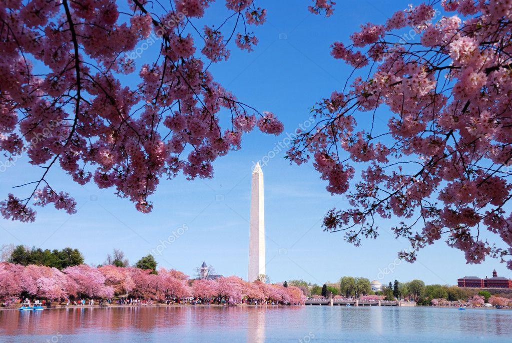 cherry blossom festival - HD
