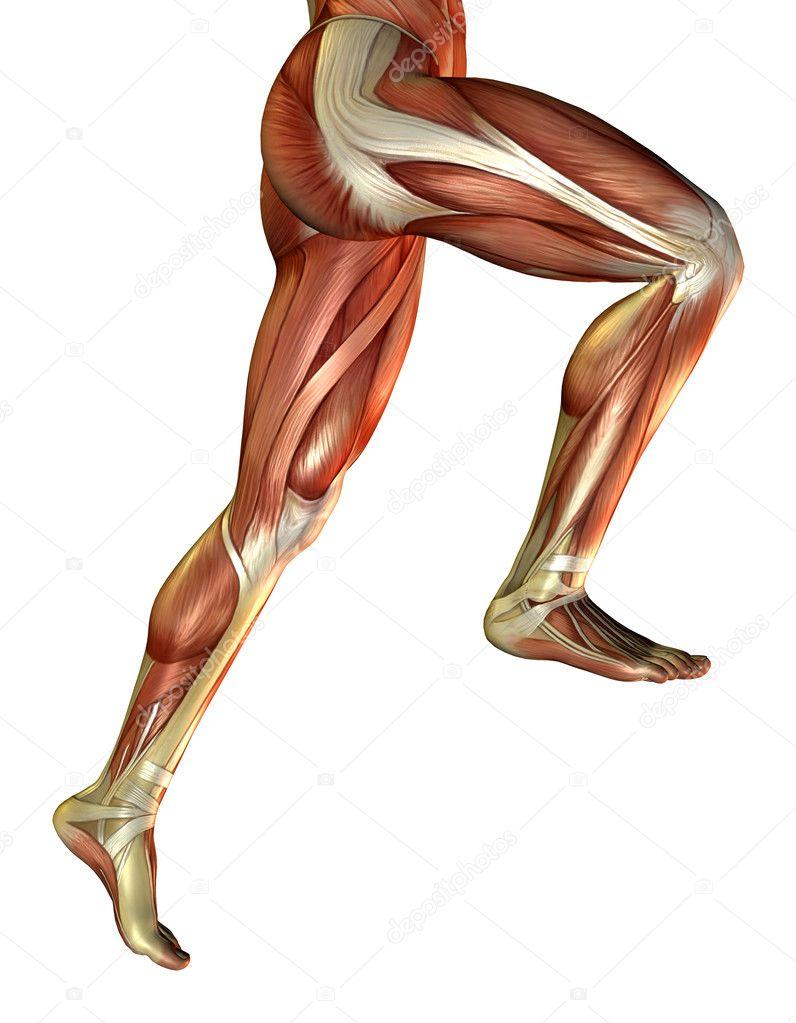 Leg Muscles Of The Man Stock Photo Digitalartb 4024741