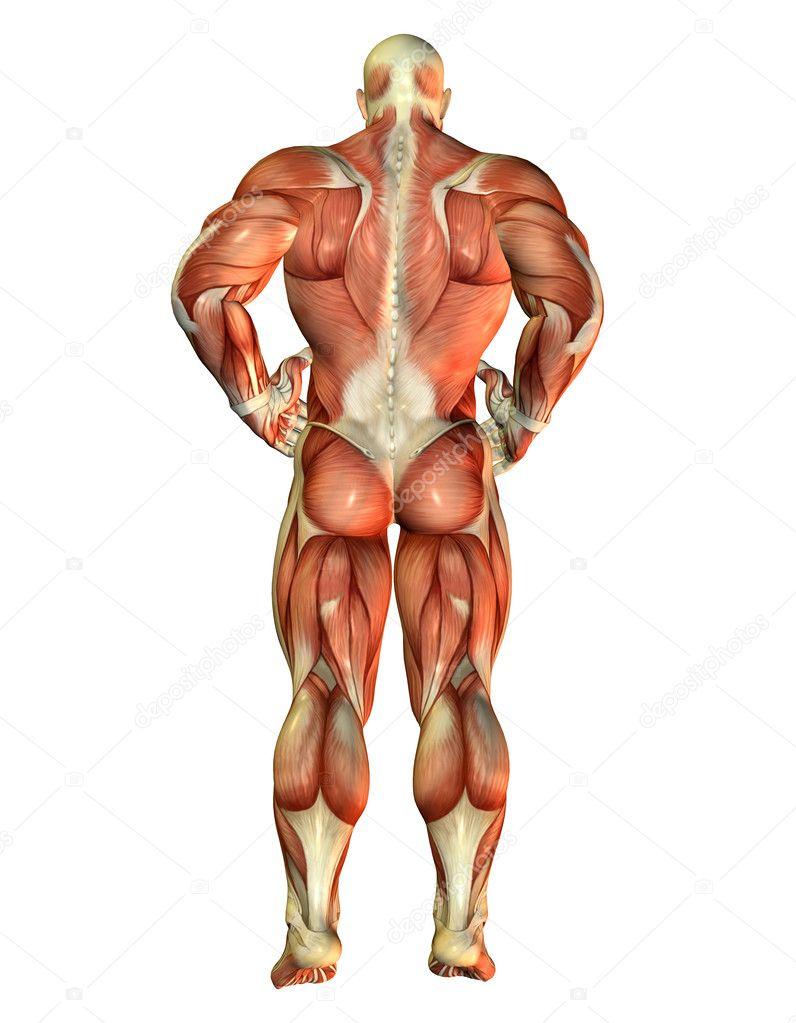 vuelta vista del constructor muscular cuerpo — Fotos de Stock ...