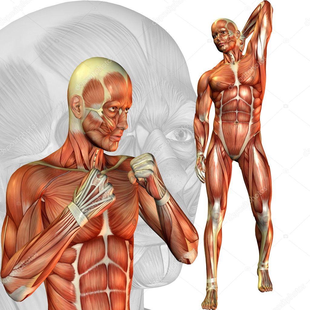 male muscle study — stock photo © digitalartb #4024851, Muscles