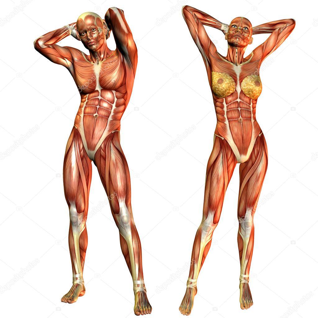 Muskel-Männer und Frauen von vorne — Stockfoto © DigitalArtB #4024990