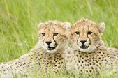Fotografie gepard mláďata