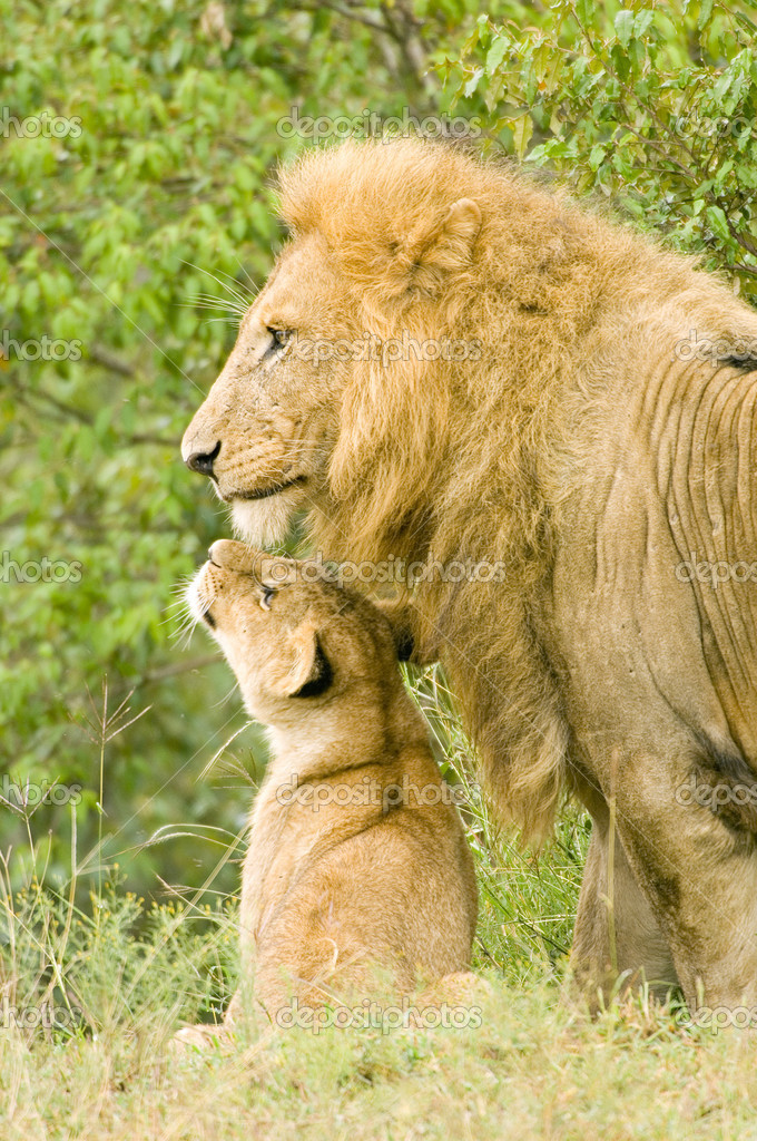 Large male lion with cub