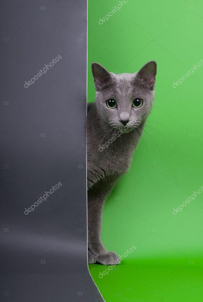 Kot Rosyjski Niebieski Zdjęcie Stockowe Kubangirl 5184710