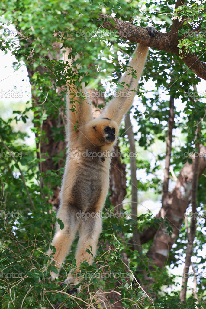 Pileated gibbon monkey hanging on a branch