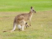 Fotografie Kangaroo with baby