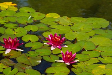 Red water lilies in full bloom with pads in pond