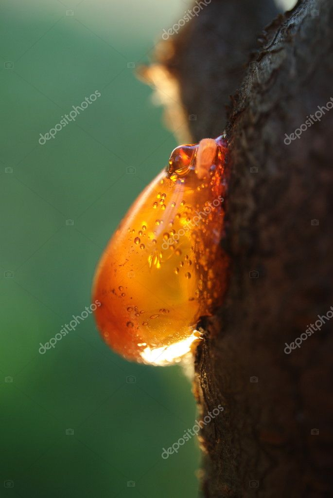 Amber resin on a tree