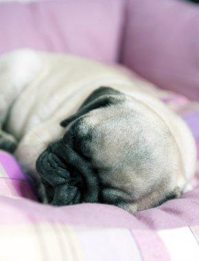 Mops Puppy Sleeping