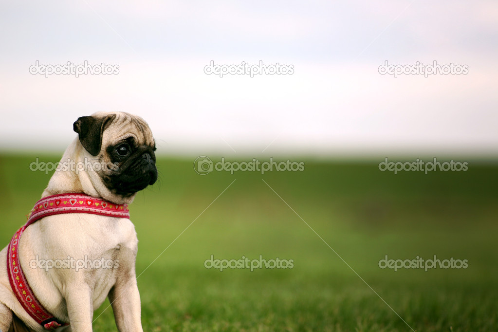 Pug Puppy and copy Space