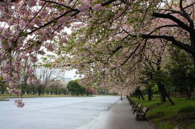 Sakura Cherry blossoms in the Park