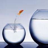 Fotografie goldfish springen aus der wasser