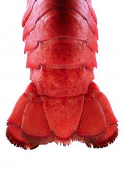 Lobster Tail - Backlit