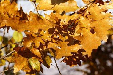 Autumn golden oak leaves
