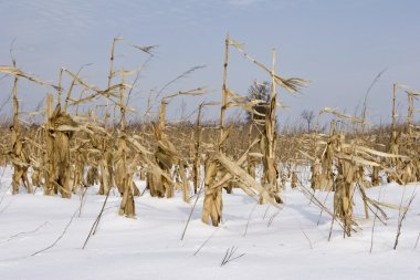 Maze and corn crop in field winter