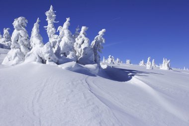 Snow covered pine trees with snow drift