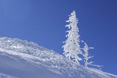 Ice covered pine tree