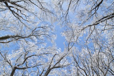 Frosty trees in forest