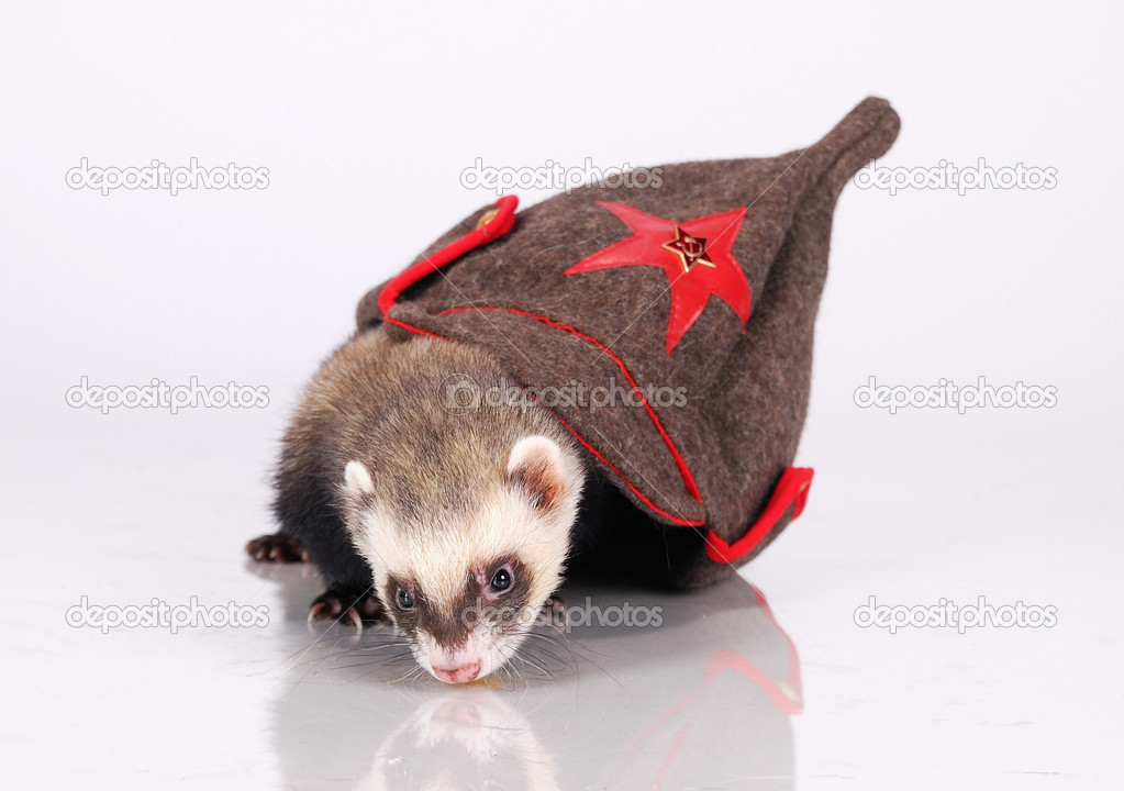 Russian red army ferret