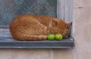 Red tabby tom cat sleeps on the windowsill