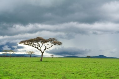 Single tree, green grassland and storm cloud in savannah
