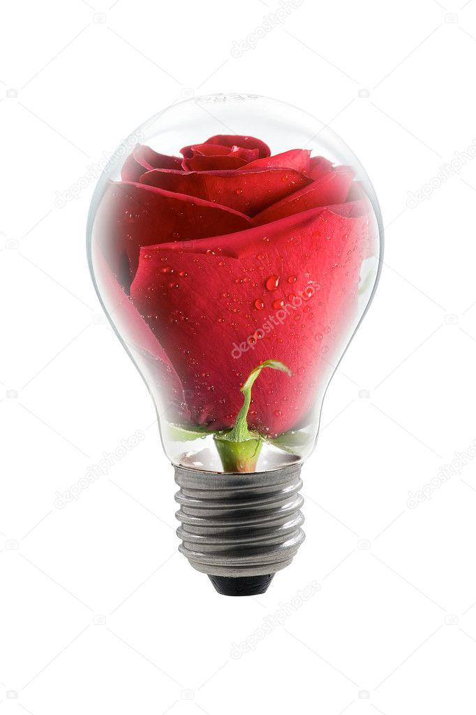 Rose-bulb