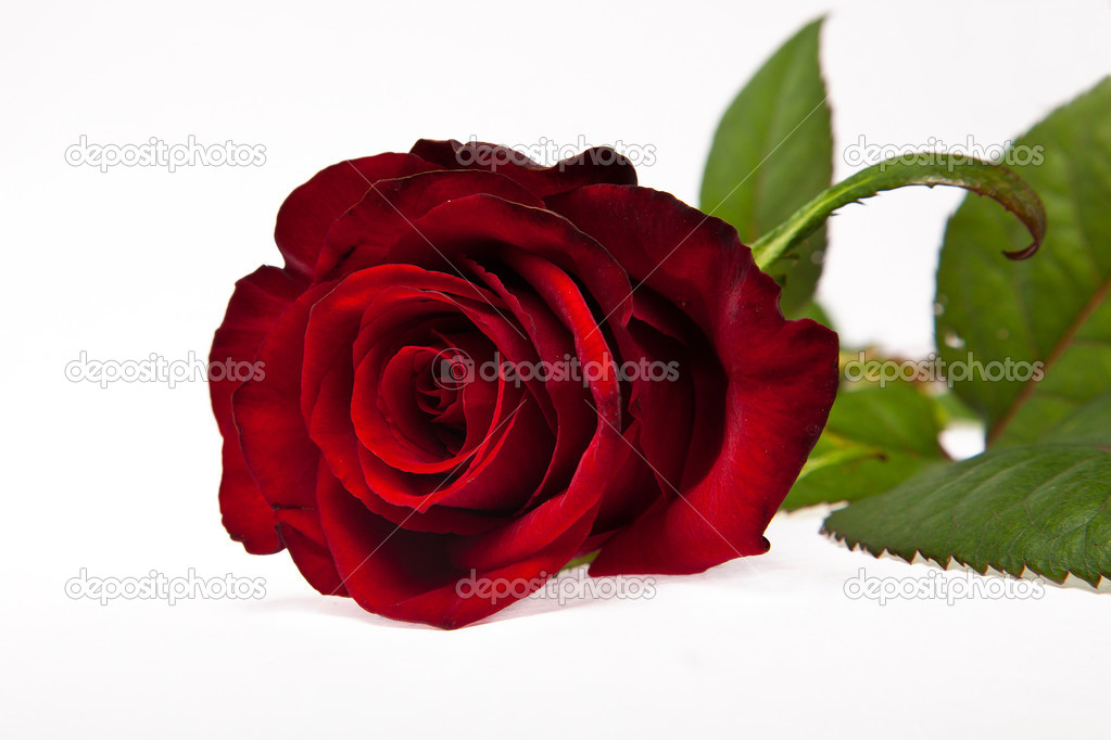 Single dark red rose flower isolated on white background