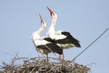 White stork pair on the nest / Ciconia ciconia
