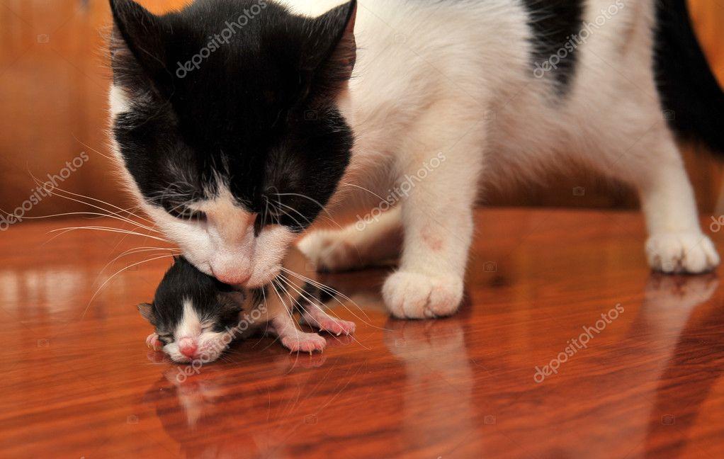 Кот носит котенка