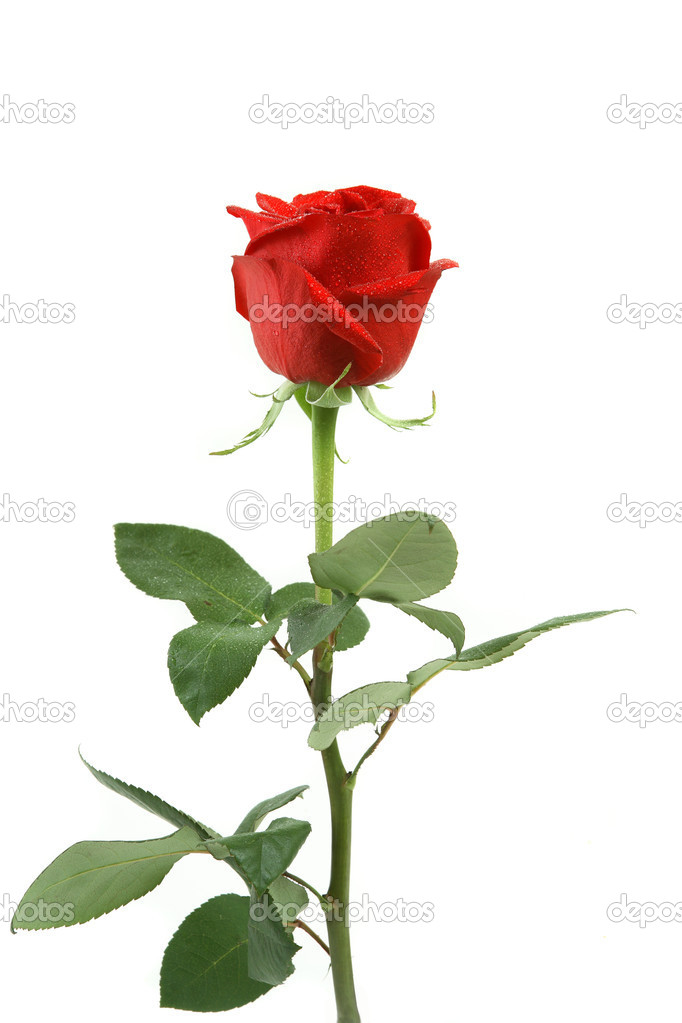 Beautiful red rose isolated on a white background with leaves the long